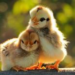 mangime polli 2 sbriciolato